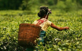 Erratic rain, rising temperatures hit Assam tea gardens