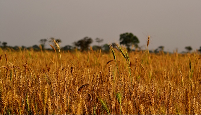 According to the latest IPCC report, the Indo-Gangetic Plains in India, which produce about 14-15% of global wheat, could suffer significant reductions due to climate change-induced heat stress, affecting about 200 million people. (Image by Nupur Das Gupta)