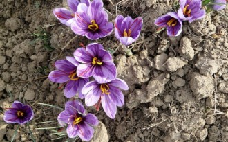 Government gives Kashmir saffron growers a helping hand