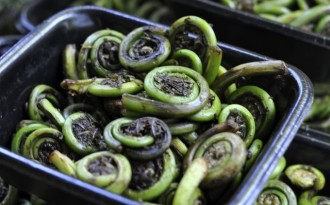 Many varieties of dhekia xaak (fiddlehead fern), which are extensively used in Assamese cuisine are disappearing with the changing climate. (Image by Wikimedia)