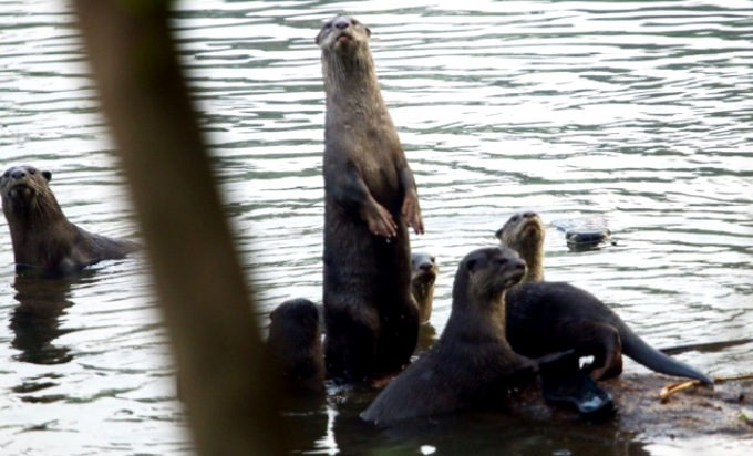 Smooth-coated otters in Thoothapuzha (Image by Revi Unni)