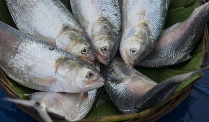 Hilsa fish at a market in Barisal, Bangladesh (Image by Finn Thilsted)