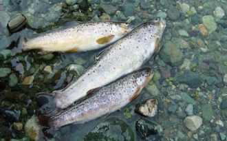 The troubled trout of Kashmir