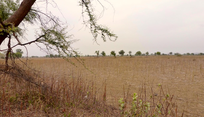 A pigeonpea crop that died in the fields before it could be harvested. (Image by Soumya Sarkar)