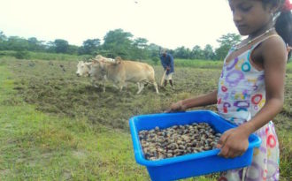 The Majuli beetle turns from pest to delicacy