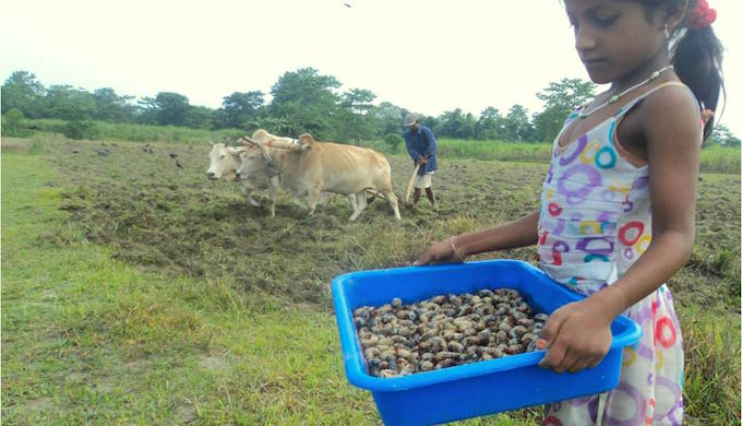 The farmers of Majuli, a riverine island on the Brahmaputra River in Assam, have turned the beetles that attacked their crops due to climate change into their newest cuisine. (Image by All India Network on Soil Antropod Pests)