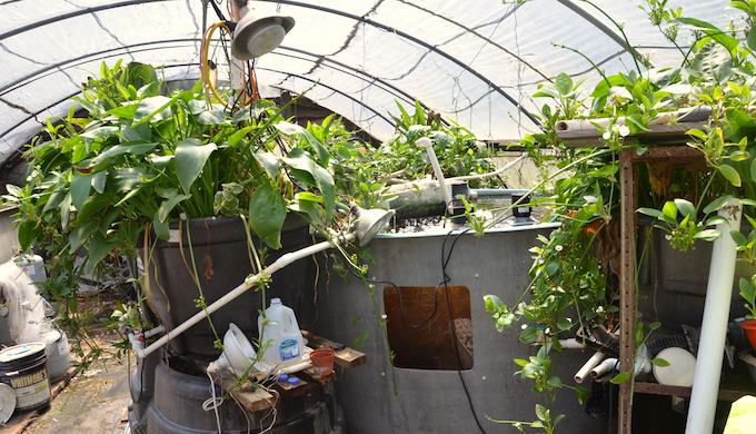 An aquaponics greenhouse (Photo by AgriLife Today)