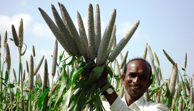 Bio-fortified pearl millets could be a weapon against malnutrition. (Photo by M. Govindaraj)
