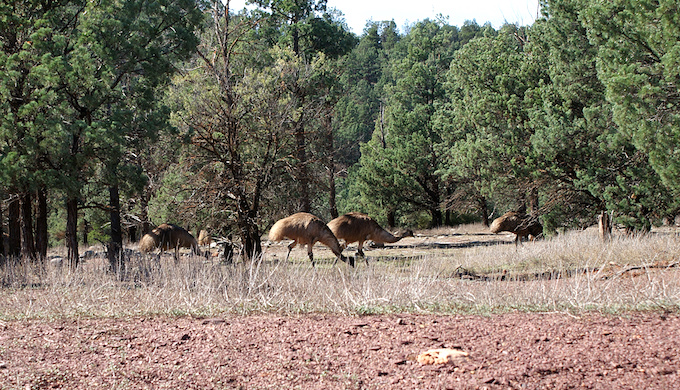 Emus grazing in Flinders Ranges in southern Australia, once a refuge of animals from climate change. (Photo by Michelle Bartsch)