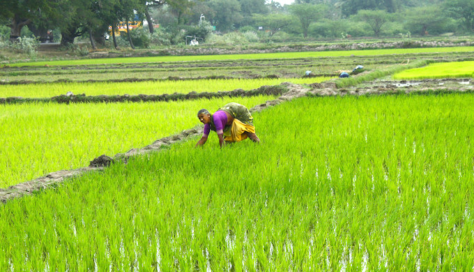 A woman tending to rice paddies in India. (Photo by ADM Institute for the Prevention of Postharvest Loss