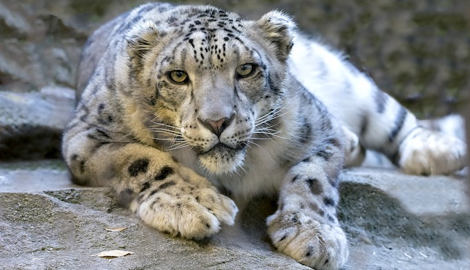 Climate change poses a threat to the endangered snow leopard (Photo by Pixabay)