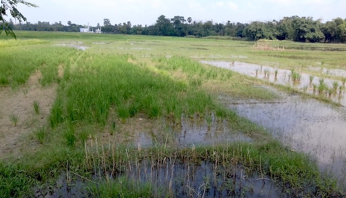 Flooded farmland with standing paddy crop in Muzaffarpur district of Bihar (Photo by Mohd Imran Khan)