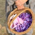 Saffron crop fails in Kashmir due to drought