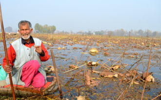 Lotus stages comeback in Kashmir's Dal Lake