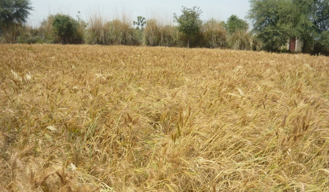 Ruined Wheat crop  after hailstorm in Rajasthan (Image by Shipra Mathur)