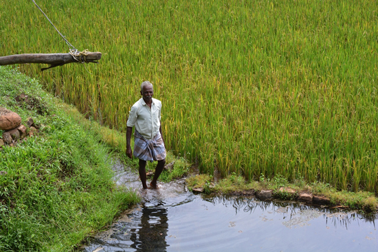 Sinnamuthu from Thuvarapallam village uses the water from the percolation tank (foreground) to irrigate his paddy field (Image by S. Gopikrishna Warrier)