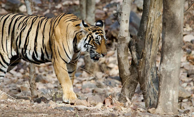 Budgeting for the demise of the tiger