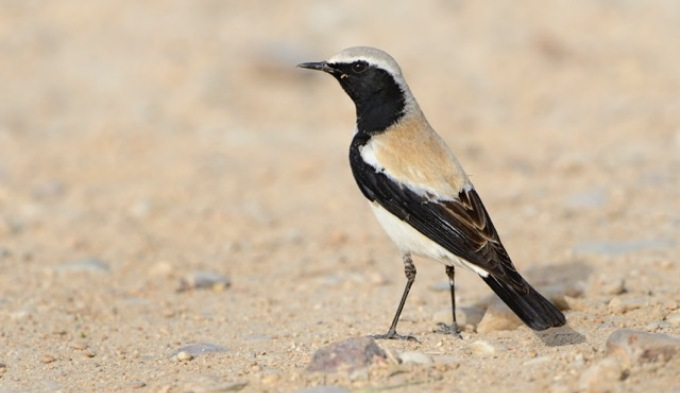 The presence of dry-region birds like Desert Wheatear in Kerala is an indication of changing temperature and weather pattern. (Image by Dileep Anthikad)