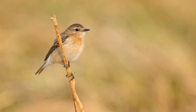 Stonechat, a dry-land bird that is now frequently spotted in 'wet' Kerala since 2010. (Image by Dileep Anthikad)