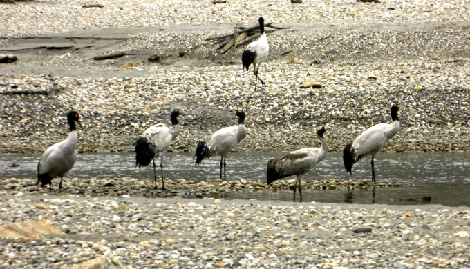 Black-necked cranes on the Naymjang Chu riverbed near Zemithang village of Pangchen valley in Tawang district. (Photo by Lham Tsering)