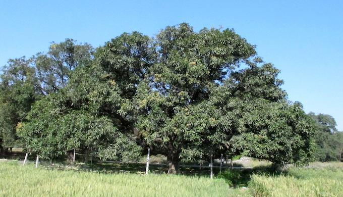 A mango tree in Dashehri village of Kakori block in Lucknow district of Uttar Pradesh. (Photo by Sopan Joshi)