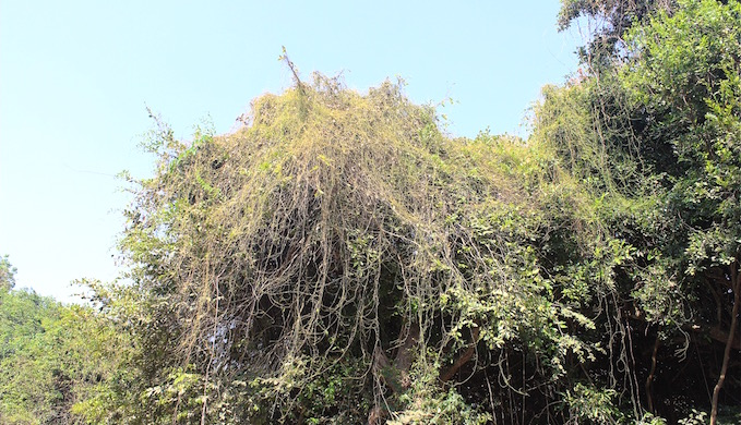 Liana vines in Puthupet. (Photo by Vivek Pandian)