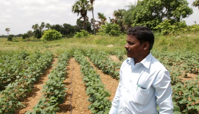 Ramesh Rangappa has started growing organic cotton in response to changed weather conditions. (Photo by Samuel McMullen)