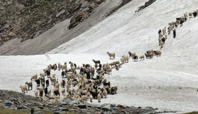 Livestock crossing an ice bridge in the Spiti Valley. (Photo by Janaki Lenin)
