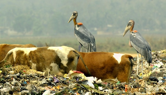 Greater Adjutant Storks, an endangered species, have died in large numbers after eating garbage near Guwahati city. (Photo by Yathin)