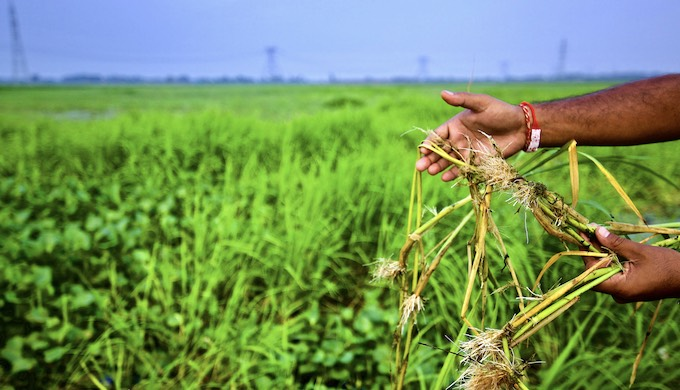 The nodes on the stem of Desariya rice plant enables more stalks to grow and float above the water level (Photo by Water Vagabond)