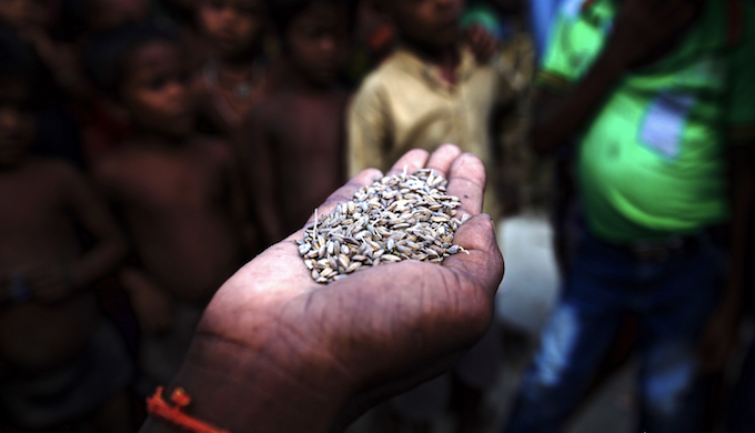 A resident of Sahorwa village shows desariya rice, which is an indigenous flood-resistant variety (Photo by Water Vagabond)
