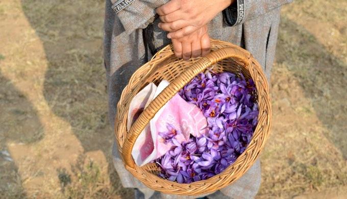 Saffron crop fails in Kashmir due to drought