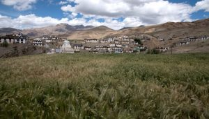 Barley fields near Langza in Spiti valley
