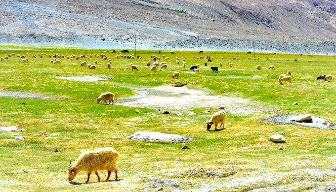 Pashmina goats grazing in the Changthang region of Ladakh (Photo by Athar Parvaiz)