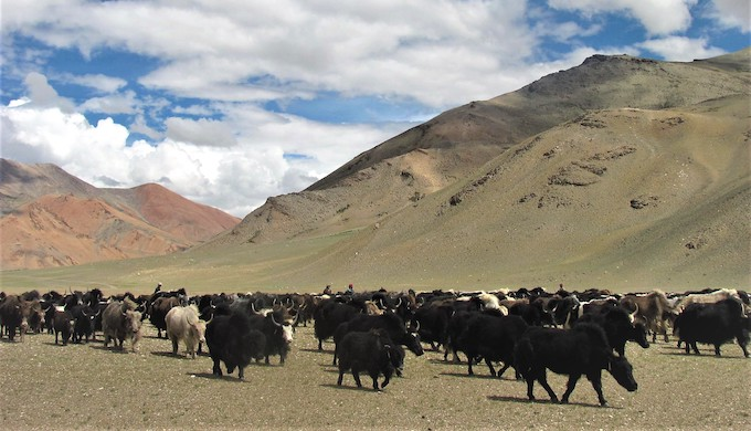 Nomadic men with their herd of Yaks and sheep in Changthang, Ladakh. Nomads complain that pastures in Changthang stay mostly barren because of harsh climatic conditions (Photo by Athar Parvaiz)