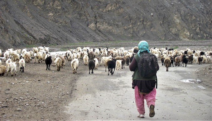 A nomadic woman with a herd of Pashmina goats in Ladakh. Nomads walk long distances with their herds of goats, sheep and yaks in search of pastures (Photo by Athar Parvaiz)