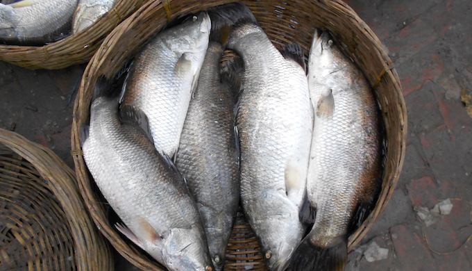 Fish population declining in the Sundarbans