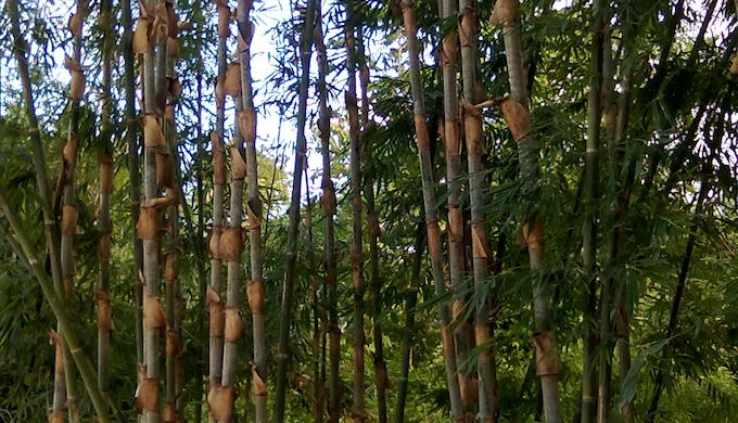 Dendrocalamus Stocksii, a bamboo variety which grows abundantly in Sindhudurg, Maharashtra (Photo by Hiren Kumar Bose)