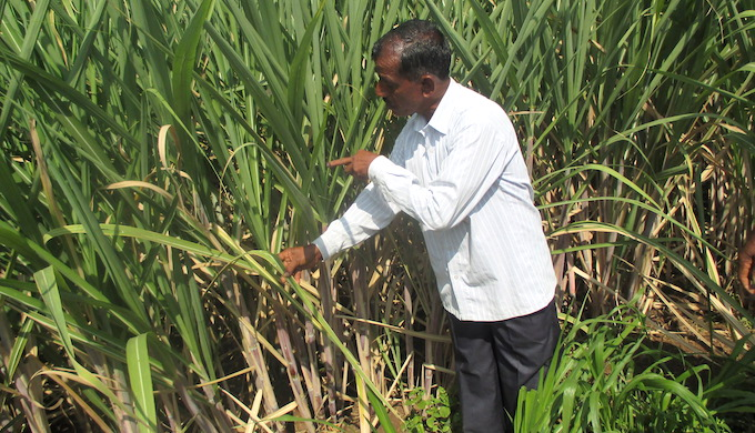 Sugarcane farmers struggle to cope with climate change
