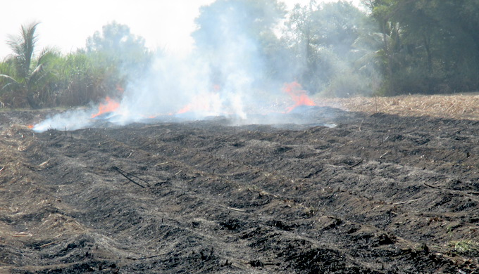 Infestation in sugarcane is sometimes so severe that entire fields have to be burned down to save the crop in adjoining areas (Photo by Tarun Kanti Bose)