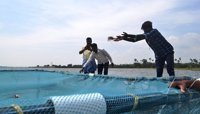 Inland fishermen feed sea bass that are reared in cage farms (Photo by N. Vinoth Kumar)
