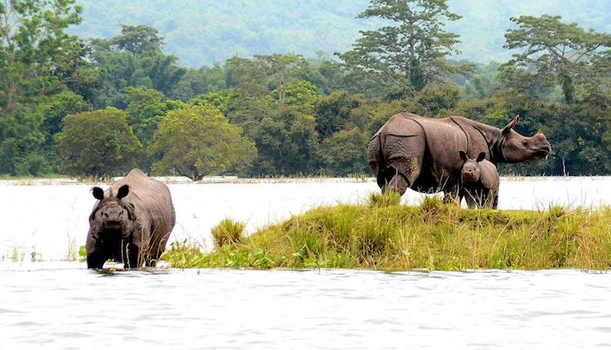 Adult rhinos with a calf at a highland during flood at Kaziranga National Park in Bagori range of Nagaon district of Assam, India (Photo by Diganta Talukdar)
