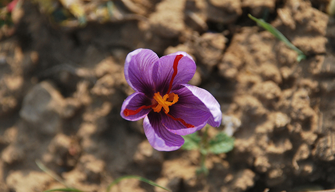 It takes about 75,000 flowers to yield 500 grams of saffron