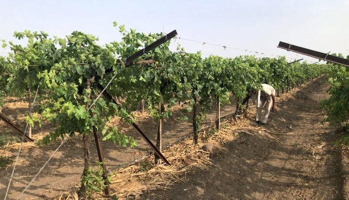 A Kadwanchi vineyard being watered through drip irrigation and with the roots covered by straw to minimise evaporation (Photo by Joydeep Gupta)