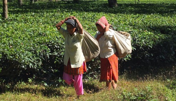 Can climate-resilient clones save Darjeeling tea?