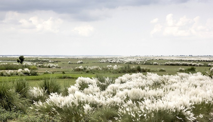 A post-monsoon scene with Kaans (Saccharum Spontaneum) in full bloom on the floodplains in central Uttar Pradesh. It is believed that the full bloom of this grass is a sign of the end of the monsoon showers and marks the arrival of autumn. This local knowledge is now being challenged by erratic climate behaviour