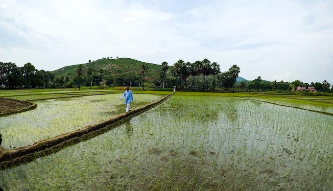 Paddy fields, Siur, Nawada, Bihar