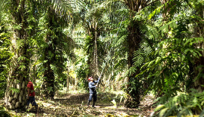 A small producer takes care of the oil palm trees (Photo by Juan Carlos Huayllapuma/CIFOR)