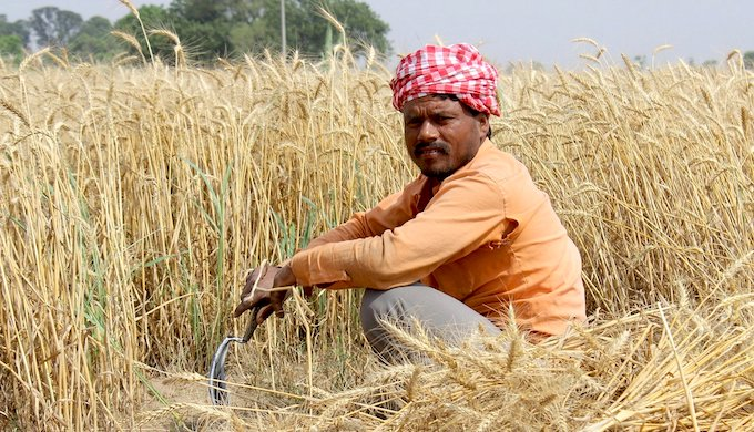 In India, a lot of the winter wheat crop had to be harvested by hand because farmers found it almost impossible to rent harvester combines during the lockdown forced by the Covid-19 pandemic (Photo by Jeevan Singla)