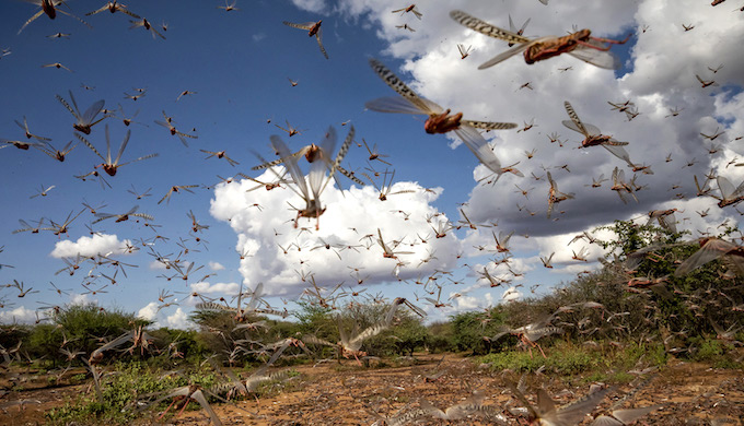 the chances of locust proliferation are increasing in South Asia due to global warming and climate change (Photo by Sven Torfinn/FAO)